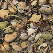 A Mess of Clams
